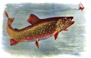 BrookTroutAmericanFishes